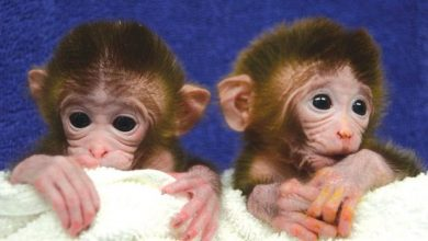 Chinese Scientists Cloned a Genetically Altered Primate in the Labs
