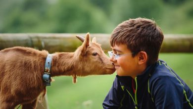 Petting Zoos Could Probably Transmit Drug-Resistant Bacteria to Visitors