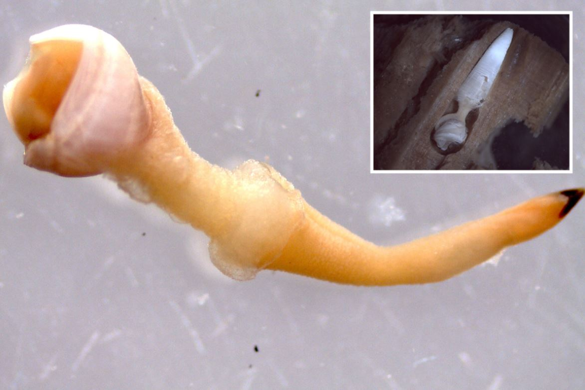 Scientists Found Strange Species of Clams That Feed On Waterlogged Wood Deep in The Ocean