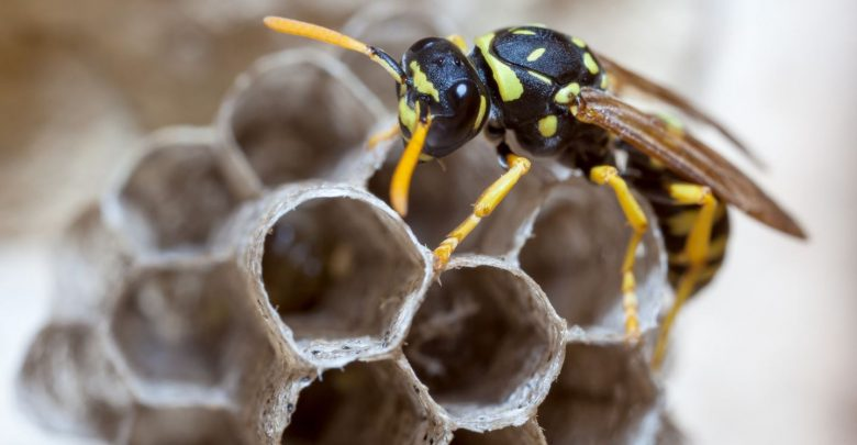 Scientists from Michigan University Found That Paper Wasps Reveal Logical Reasoning Behavior