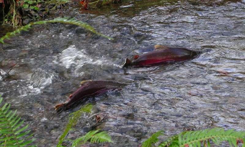 Mysterious Death Of Coho Salmon
